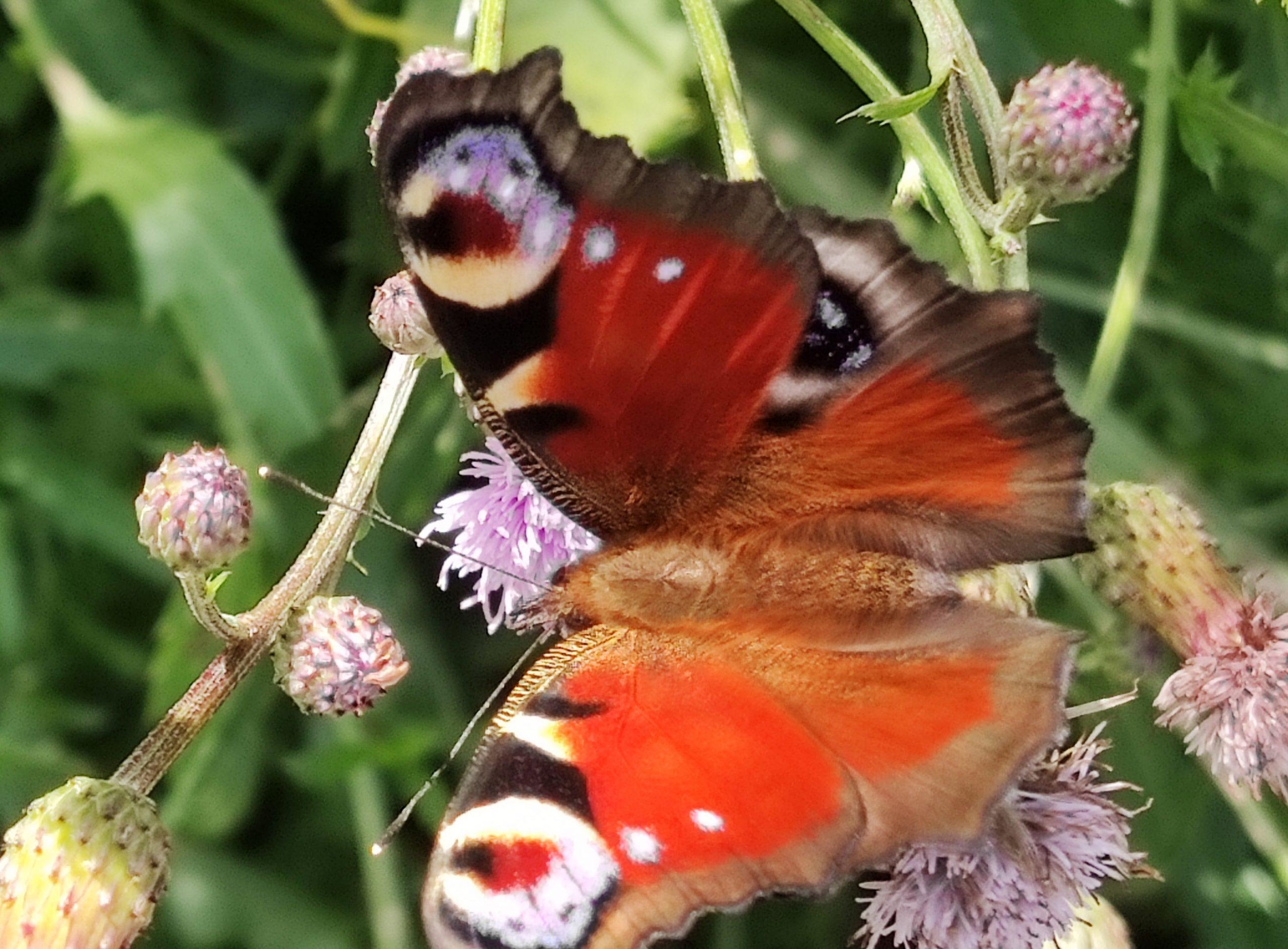 Methamorphose, Schmetterling, Transformation